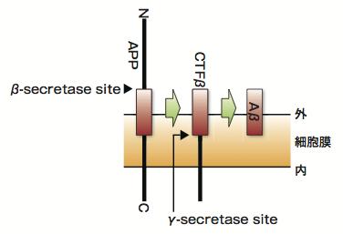 図1 APPからのAβ生成経路の概略図