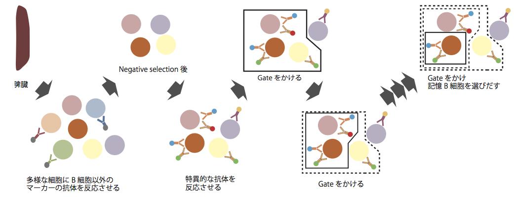 記憶B細胞のセレクション
