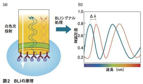 (a) センサーチップの内部から白色光を投射すると、屈折率が変化する界面で一部の光が反射する。それぞれの界面で反射した光同士が干渉を起こす。センサー表面に固定化した分子に他の分子が結合すると、反射の界面位置が変化する。それによって、反射光の干渉の仕方も変わる。(b)反射光のスペクトル上で、ピークのシフト(Δλ)が起こる。これを解析することで、センサー表面に形成された高分子の膜厚がわかる。
