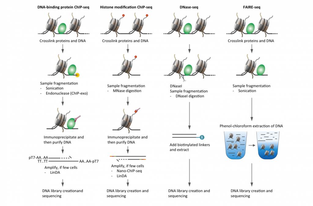 転写制御因子の結合領域を調べるための実験フロー